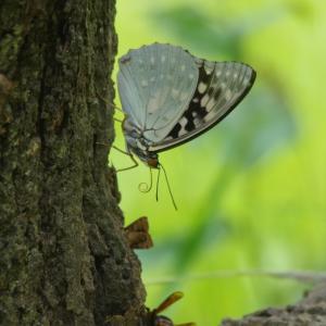国蝶?の巻