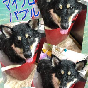はなちゃん~柴犬