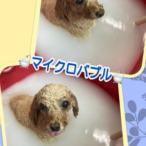 リリィちゃん〜プードル