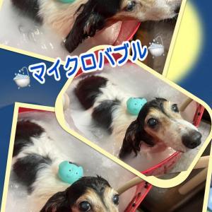 リンジーちゃん〜ダックス