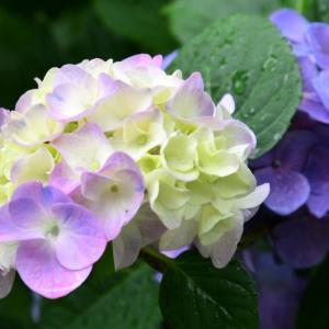 生駒の紫陽花といえば長弓寺