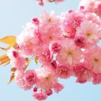 卓上花見大会!結構きれいに咲く 魔法のお水で咲く桜