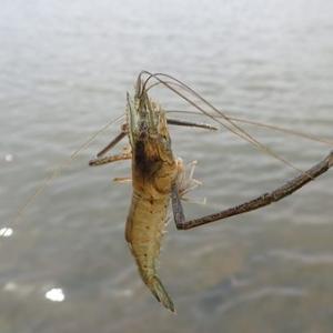 貞山運河でテナガエビ釣り