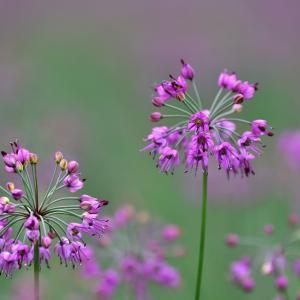 らっきょの花
