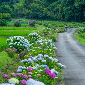 櫛淵町の紫陽花