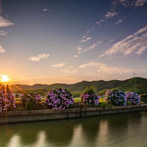 小松島の紫陽花ロード