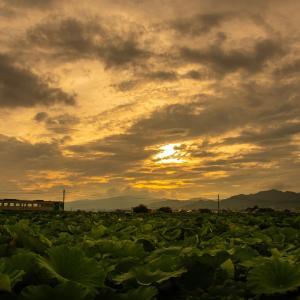 レンコン畑の夕暮れ