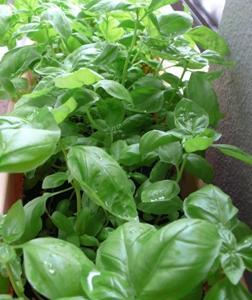 ベランダ菜園☆収穫日記 1