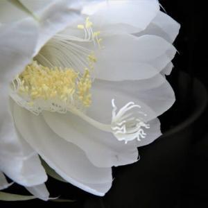 2回目の月下美人開花