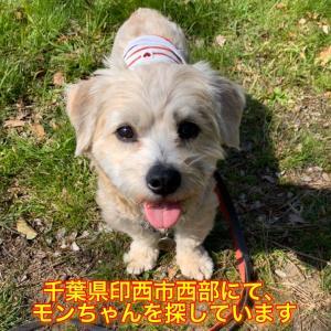 【迷子捜索中】千葉県印西市にてモンちゃんを探しています