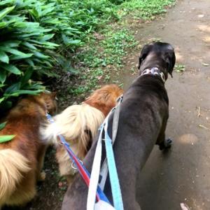 《グレートデン里親募集中》 クララのお散歩は、神経衰弱?!