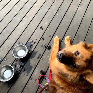 《大型犬雑種里親募集中》めいちゃん、あっかんべーだ!