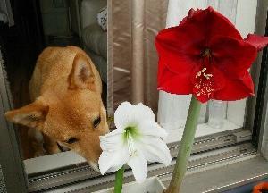 アマリリスが咲きました。