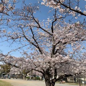 桜と夜景と・:*+.\(( °ω° ))/.:+