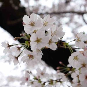 桜と公園。