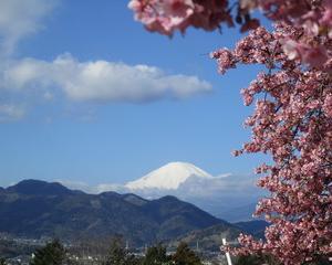 (2月19日)松田山桜まつり