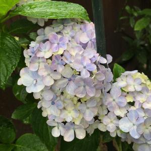 うっすら紫陽花