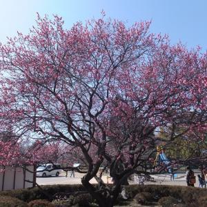 上田城で梅見