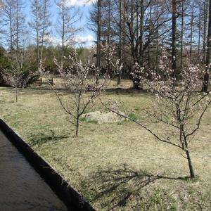 御影用水温水路の桜開花