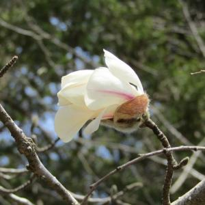 追分宿-コブシの花