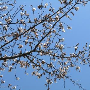 軽井沢-桜の花などが咲き始め