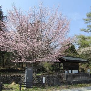 追分宿高札場-桜