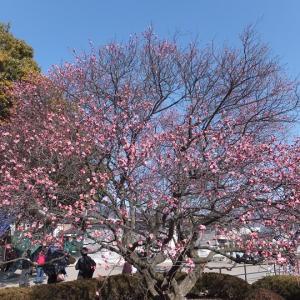 梅見に上田城へ。