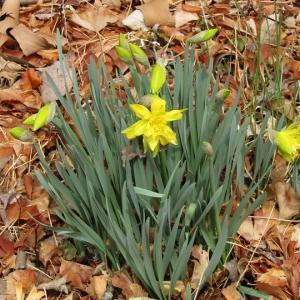 今年もスイセンが咲き始めました。