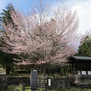 桜が見頃に!