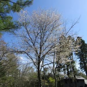 遅咲きの桜-桜ヶ丘ヴィレッジ