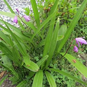 葉蘭(ハラン)に花が咲きました。