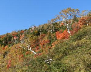 八幡平の紅葉前線、前山からもみ山の斜面を駆け下りています