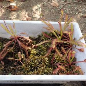 食虫植物越冬