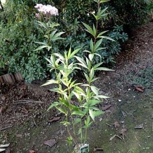 フジバカマを植える。