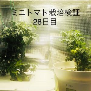 【窓際菜園-検証】ミニトマト栽培検証28日目