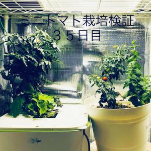 【窓際菜園-検証】ミニトマト栽培検証35日目