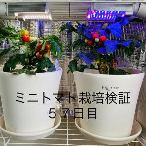 【窓際菜園-検証】ミニトマト栽培検証57日目
