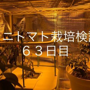 【窓際菜園-検証】ミニトマト栽培検証63日目