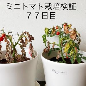 【窓際菜園-検証】ミニトマト栽培検証77日目 そろそろ終わり