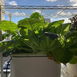 【窓際菜園】葉野菜がすごい