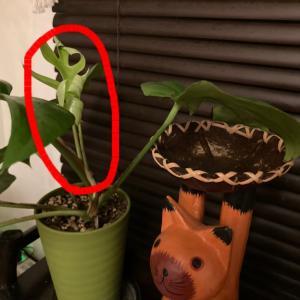 【窓際菜園-観葉植物】モンステラって面白い