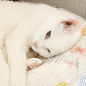 【猫】カイは家猫