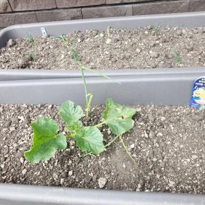 【家庭菜園】メロンの水耕栽培 MASUCO