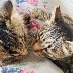 【猫】トラジャ1週間 デレてきた