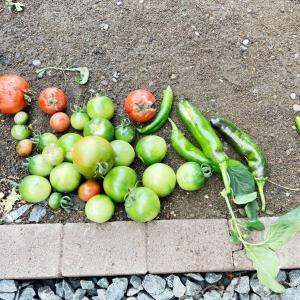 【家庭菜園】低気圧にやられた。゚(゚´Д`゚)゚。