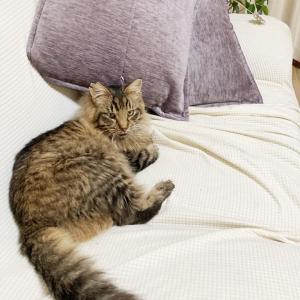 【猫】茶色い絵面。モカとトラジャ