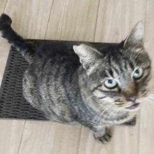 【猫】トラジャがじゃれた!