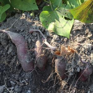 サツマイモ試し掘り
