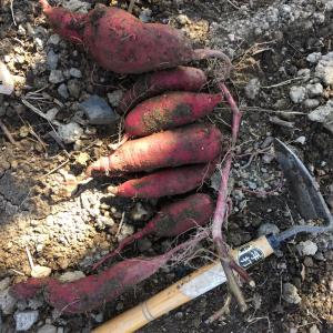 サツマイモ収穫3回目