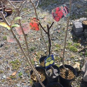 生垣最後の一辺植樹